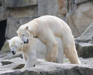 polar-bears-mate-at-berlin-zoo